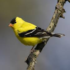 The first yellow bird of the season!