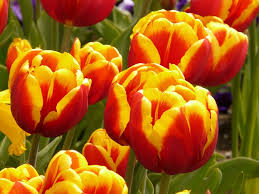 Pulling up tulips