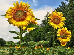 What makes sunflowers so special anyway?