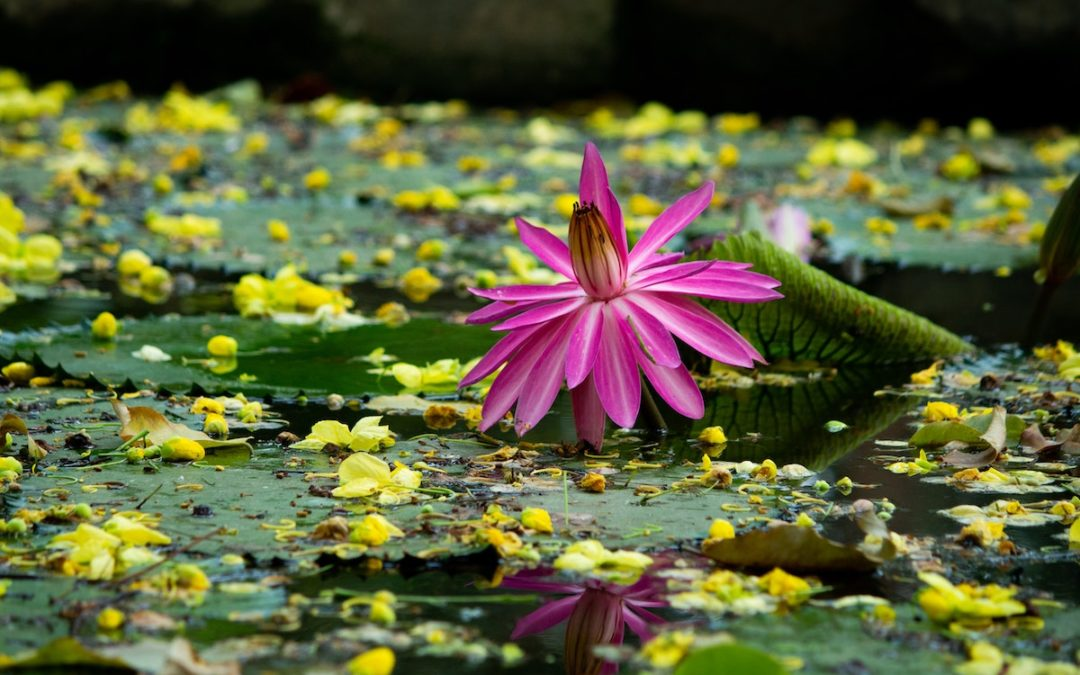 The lotus blooms from the mud